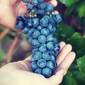 grappolo-uva-rossa-2