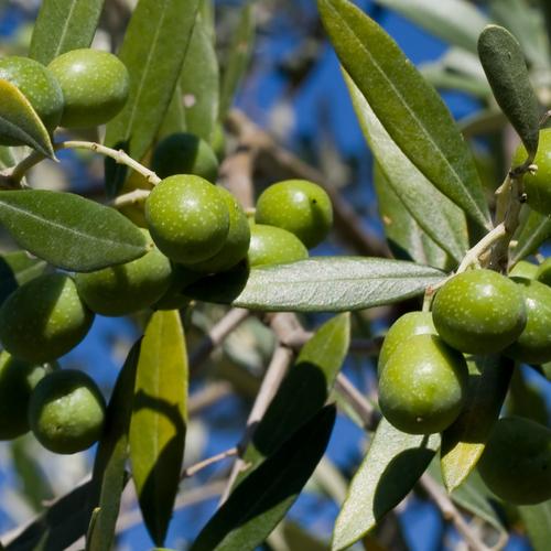 olio-di-oliva-DOP-2
